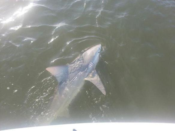 A hefty bull shark comes along side for release with Capt. Ben on 5/25/2013