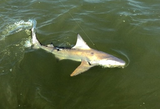 A hearty bull shark comes alongside Capt. Ben's boat on a recent trip.