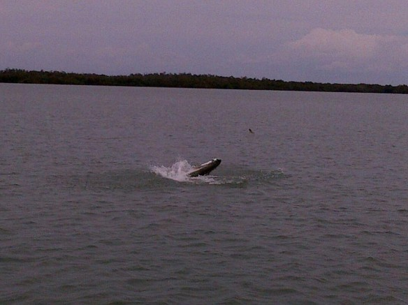 Steve's tarpon doing about to take air.