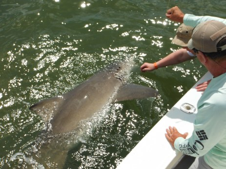 A monster lemon shark comes boat side for release. Summer shark fishing is hot!